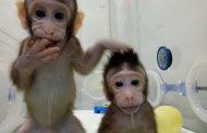 ¡Ojo! Ya nacieron nuestros primos Zhong Zhong y Hua Hua, dos monos surgidos de la primera clonación de primates