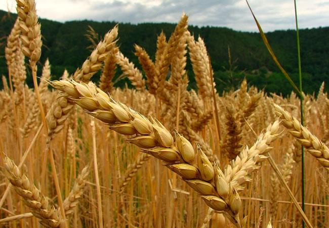 Presentarán en Bolivia cinco nuevas variedades de trigo y destacan esfuerzos para garantizar soberanía alimentaria