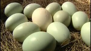 Sublimo para no ser piraña manduca turros: hoy, huevos verdes y de avestruz
