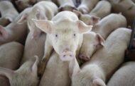 La cría intensiva de cerdos representa un potencial pandémico, informan Universidad Públicas